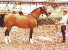 Nabeg (Arax by Amurath Sahib to Ofir x Nomenklatura by Naseem by Skowronek and Mammona by Ofir) bay stallion - foaled in 1966 - Tersk Stud, Sovien Union.
