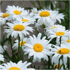 Shasta Daisy Seeds (Chrysanthemum maximum)