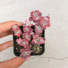 Sedum Spathulifolium Purpureum Succulents Cute Sedum Succulent