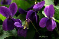 Immagini Fiori Violette.25 Fantastiche Immagini Su Violette Fiori Fiori Ombre Di Fiori