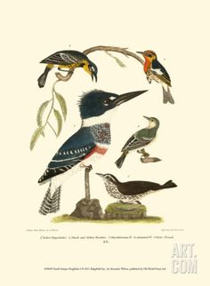 Small Antique Kingfisher I Art Print by Alexander Wilson at Art.com