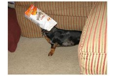 A dog who loves goldfish, imagine.  Lol, if I didn't know better I'd think this was my Louie!!