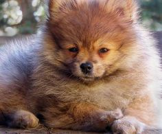 pomeranian sheepdog photo | Bubble the Pomeranian | Puppies | Daily Puppy