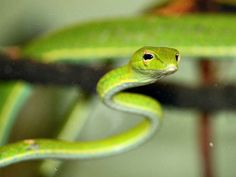 Green Vine Snake Facts! - Do you want to have a green vine snake for a pet? A word of caution. This snake is not recommended for first-timers or for young pet owners. Green vine snakes need large, vertically oriented terrariums with plenty of branches to climb, holes for ventilation and moss on the bottom to absorb and retain moisture.