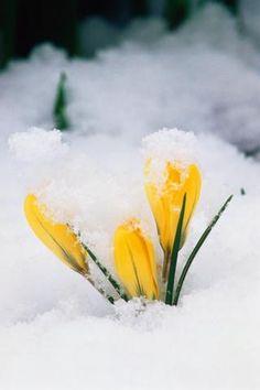 Yellow Crocus in snow.
