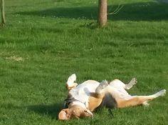 Beagle enjoying the sun #koosjedebeagle