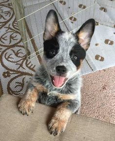 Australian Cattle Dog Dog Breed Information, Popular Images - . - Australian Cattle Dog Dog Breed Information, Popular Images – …, - Cute Puppies, Cute Dogs, Dogs And Puppies, Doggies, Awesome Dogs, Perro Blue Heeler, Blue Heelers, Blue Heeler Dog, Cute Baby Animals
