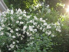 Mock Orange - shrub which grows into a tree.  Drought, heat, and deer resistant.  Smells good as well!  Philadelphus-coronarius-Sweet-Mock-Orange-English-Dogwood-Texas-Adapted-Trees
