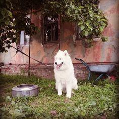 #North #puppy #samoyed #fluffy #самоед #instapuppy #instadog #dog_cat #white #summertime #дача #village #cottage #happydog