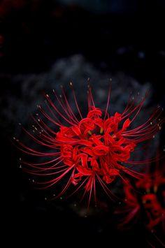 Lycoris radiata (Red spider lily, Red magic lily) - Poisonous enough to keep mice away.  Hoa bỉ ngạn - Có hay chăng huyết hoa như máu? Vốn là hoa hay máu của nhân gian?