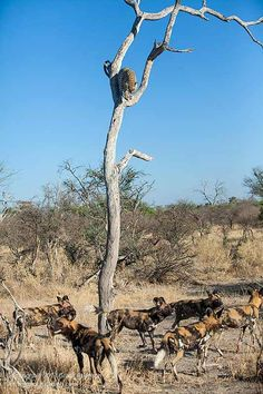 Leopard versus wild dog, in the Okavango Delta, photographed by Grant Atkinson, an incredible South African - Cape Town based guide and photographer who travels to wild places whilst leading photographic safaris. Go to his website to view more riveting images from this clash and forthcoming tour dates..