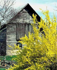 barn with forsithia in SPRING by Mike O'C
