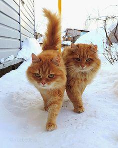 -m--beautiful orange cats . Cool Cats, I Love Cats, Crazy Cats, Beautiful Cats, Animals Beautiful, Cute Animals, Orange Tabby Cats, Red Cat, Cute Kittens