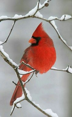 Red bird on snowy branch