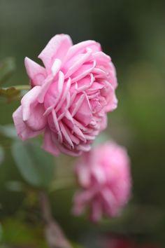 Hybrid Tea Rose: Rosa 'La France' (France, 1867)