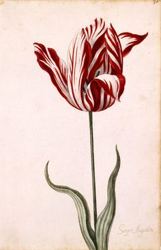 During Tulip Mania, the most expensive tulip on the market was the Semper Augustus.