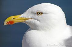 Portrait of a Herring Gull