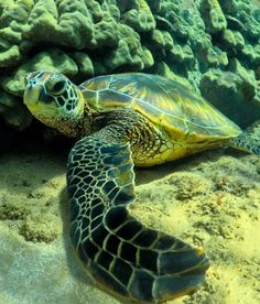 Sea Turtle Wild Creatures, Ocean Creatures, Beautiful Creatures, Animals Beautiful, Mon Zoo, Animals And Pets, Cute Animals, Save The Sea Turtles, Tortoise Turtle