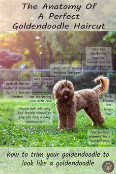 The perfect goldendoodle haircut - every doodle owner needs to look at this before taking their goldendoodle for grooming! The perfect goldendoodle haircut - every doodle owner needs to look at this before taking their goldendoodle for grooming! Chien Goldendoodle, Goldendoodle Haircuts, Goldendoodle Grooming, Dog Haircuts, Goldendoodles, Labradoodles, Dog Hairstyles, Cockapoo Haircut, Chocolate Goldendoodle