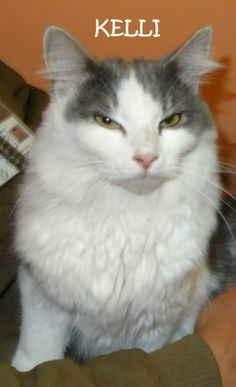UPDATE-RETURNED TO OWNER! AVAILABLE 4/29! STRAY Tag# 29640 Name is Kelli  Grey/White DLH Female-unsure of spay  Front declawed  Sweet girl that loves attention!  https://www.facebook.com/photo.php?fbid=626434454094044&set=a.626434147427408.1073741995.267166810020812&type=3&theater
