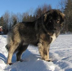 caucasian ovcharka. these dogs are GORGEOUS. Used to hunt bears.