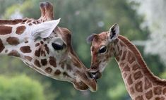 Nine-day-old giraffe Bine licks the nose of its giraffe aunt Andrea at Friedrichsfelde Zoo in Berlin, Germany, Friday, May 9, 2014. The baby giraffe was born on 30 April during opening hours and numer