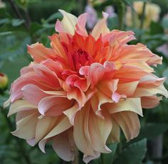 This is a stunning informal decorative dahlia originally introduced in with luscious blooms held perfectly erect on sturdy stems. Deep peach centers open up to glowing bronze petals dusted with gold. Exotic Flowers, Amazing Flowers, Beautiful Flowers, Dahlia Flowers, Flower Farm, Flower Pots, Garden Plants, House Plants, Fruit Garden