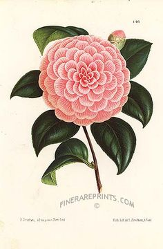 Camellia Caprioli - hybrid.  From Botanical art from Illustration Horticole.
