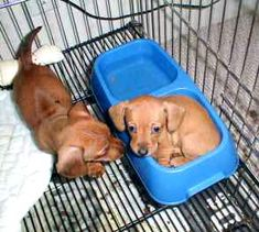 Miniature Dachshunds, too much want #puppy