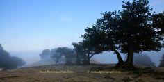 Santa Rosa Island Oak Trees