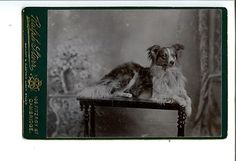 CC Canine Dog Portrait Border Collie Type EXC 1880 90s Cabinet Card | eBay