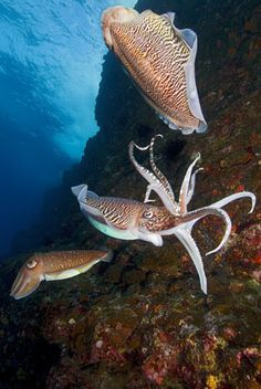 These Pharoh cuttlefish appear to be juggling as they are trying to decide who gets to mate.