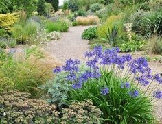 Beth Chatto's Gravel Garden with Agapanthus flowering in the foreground.