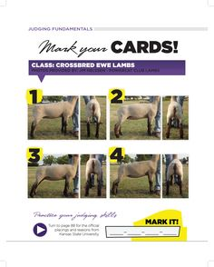 Crossbred Ewe Lambs from K-State Livestock Judging Camp DRIVE Livestock Youth Magazine www.drivelivestock.com #stockshowlife #agproud