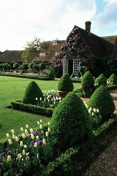 Manicured lawn with squared boxwood hedge framing bed of tulips + ornamental boxwood