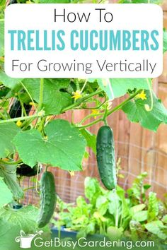 Growing vertical cucumbers in your home veggie garden is simple great for small spaces and has many benefits. Learn how to grow cucumbers vertically including the best plants to use the benefits choosing supports for climbing cucumbers trellis ideas (like Cucumber Plant, Cucumber Trellis, How To Plant Cucumbers, Tomato Trellis, Vertical Vegetable Gardens, Home Vegetable Garden, Veggie Gardens, Container Vegetables, Container Gardening