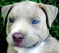 Blue Eyed Pit Bull
