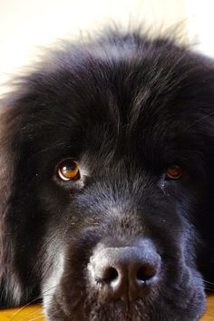 newfie puppy. what a face.