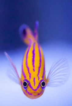 """This fish is Liopropoma carmabi aka the Candy Basslet. It is the Holy Grail of Saltwater fish. It is beautiful, stays relatively small, but can be very shy. They are part of the sea-bass family so eat mostly other fish and invertebrates."""