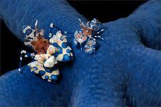 Harlequingarnelen (Harlequin Shrimp oder Hymenocera elegans) sind wohl die farbenpraechtigsten aller Spezien der Garnelen im Riff. Hier habe ich die...