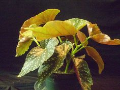 Houseplants Which Can Be Propagated From Single Leaves