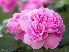 Rosenbild Guten Morgen, Mary Rose
