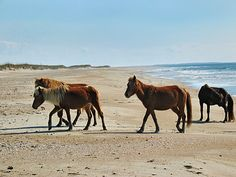 Wild horses on Shackleford Banks- Descendants from a 16th century Spanish shipwreck off the NC coast