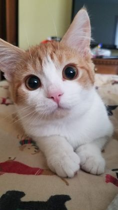 Tabby Cats Cats Who Are Nailing The Puppy Dog Eyes - OK you can have my wallet. I Love Cats, Crazy Cats, Cute Cats, Animals And Pets, Baby Animals, Cute Animals, Puppy Dog Eyes, Dog Cat, Orange And White Cat