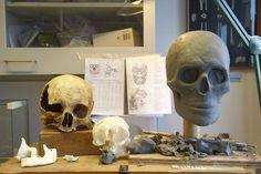 3. Rekonstruktion. Kunstneren former Auning-kvindens hoved i blødt kunst-ler. Bagest til venstre en typisk kvinde-hovedskal fra et oldtidsmenneske. Først lægger Skaarup en muskulatur oven på kraniet. Derefter modellerer han et mere og mere fyldigt kranium op. Foto: Hans Grundsøe
