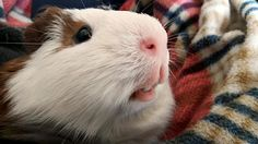 LOLO What???          ~guinea pig