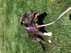 Mia is an adoptable American Staffordshire Terrier Dog in Vacaville, CA. Mia is up for adoption! 5 months old, spayed, microchipped and all shots. Housebroken and crate trained and LOVES kids!...