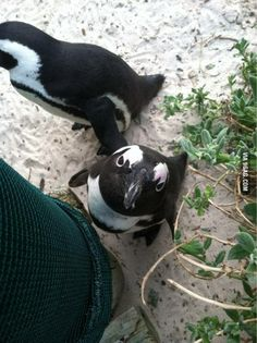I visited a penguin sancuary in south africa. I liked this guy especially