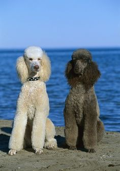 Beautiful white and brown poodle by the sea :)