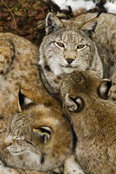 Lynx by Isaac Baquero Pérez